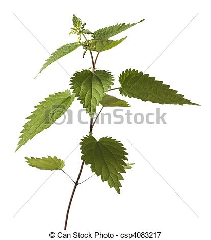 Picture of Stinging Nettle.