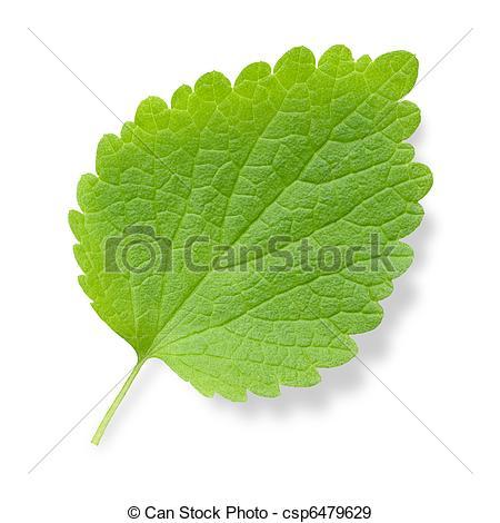 Stock Photographs of Nettle leaf..