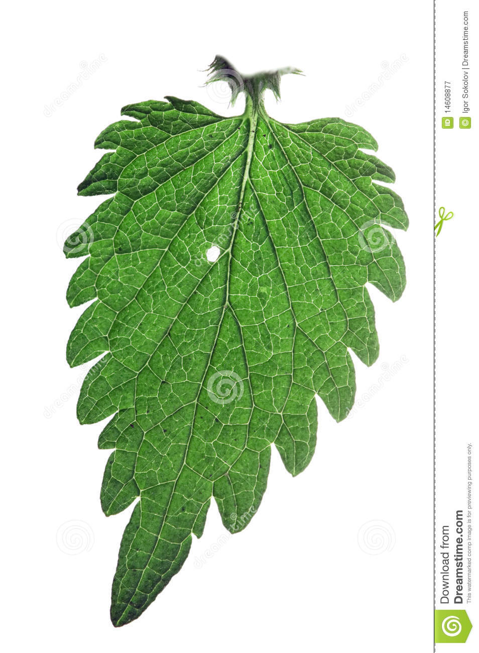 Nettle Leaf Royalty Free Stock Photography.