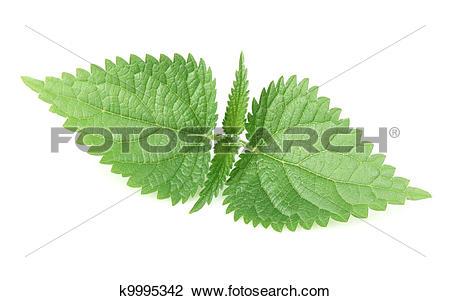 Stock Photo of Nettle leaf k9995342.