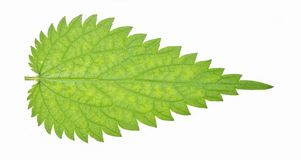 Stinging Nettle Leaf Stock Photos, Images, & Pictures.