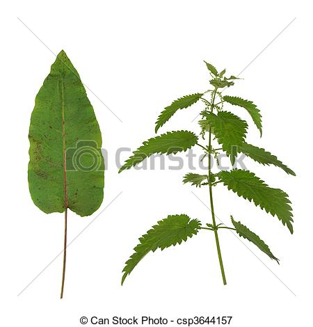 Picture of Dock Leaf and Stinging Nettle.