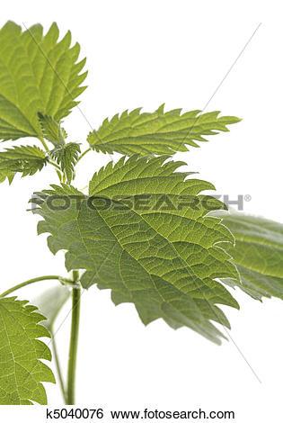 Stock Images of Stinging nettle k5040076.