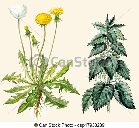 Nettle Illustrations and Clip Art. 212 Nettle royalty free.