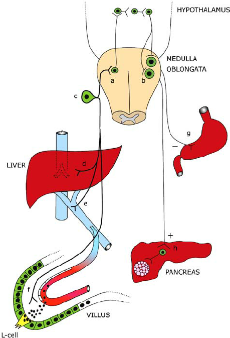Schematic diagram of the neural pathway for the actions of.