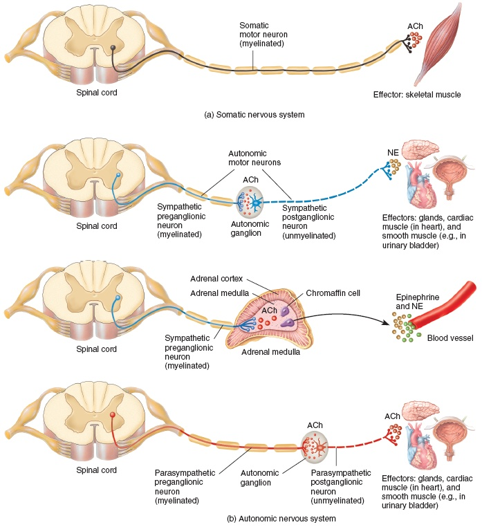 Motor Neuron Pathways in the Somatic and Autonomic Nervous Systems.