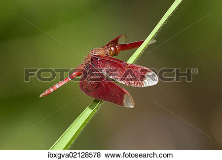 """Pictures of """"Fulvous forest skimmer (Neurothemis fulvia), male."""