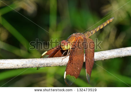 Neurothemis Stock Photos, Images, & Pictures.
