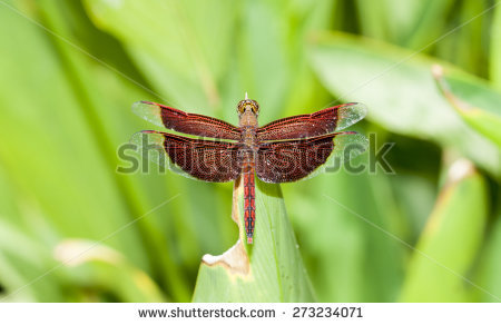 Neurothemis Fluctuans Stock Photos, Royalty.