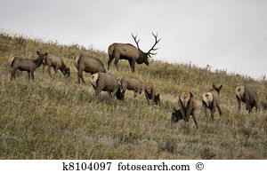 Cow elk Stock Photo Images. 561 cow elk royalty free pictures and.