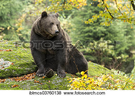 "Pictures of ""Brown Bear (Ursus arctos), Bavarian Forest National."