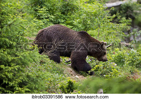 "Stock Images of ""Brown Bear (Ursus arctos), Bavarian Forest."