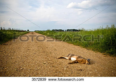 Stock Photograph of Dead hare on a rural road, Neusiedler See.
