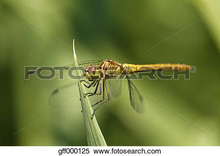 Stock Image of Austria, Large Darter dragonfly in Nationalpark.
