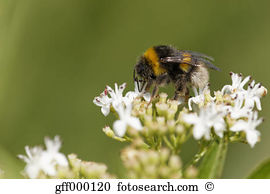 Bombus terrestris Stock Photo Images. 114 bombus terrestris.