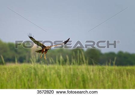 Stock Photography of Marsh harrier, Circus aeruginosus, Neusiedler.