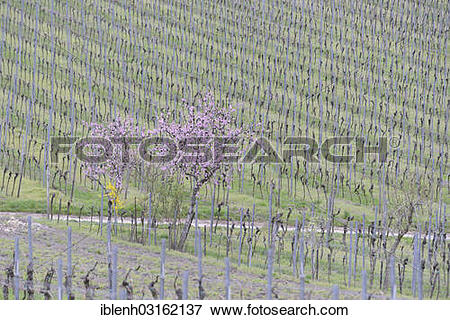 "Picture of ""Blossoming Almond tree (Prunus dulcis) in a vineyard."