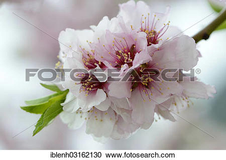 "Stock Photography of ""Blossoms of an Almond tree (Prunus dulcis."