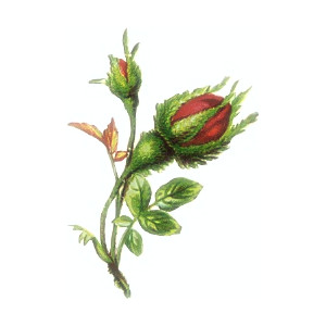beautiful red bud clip art, public domain image.
