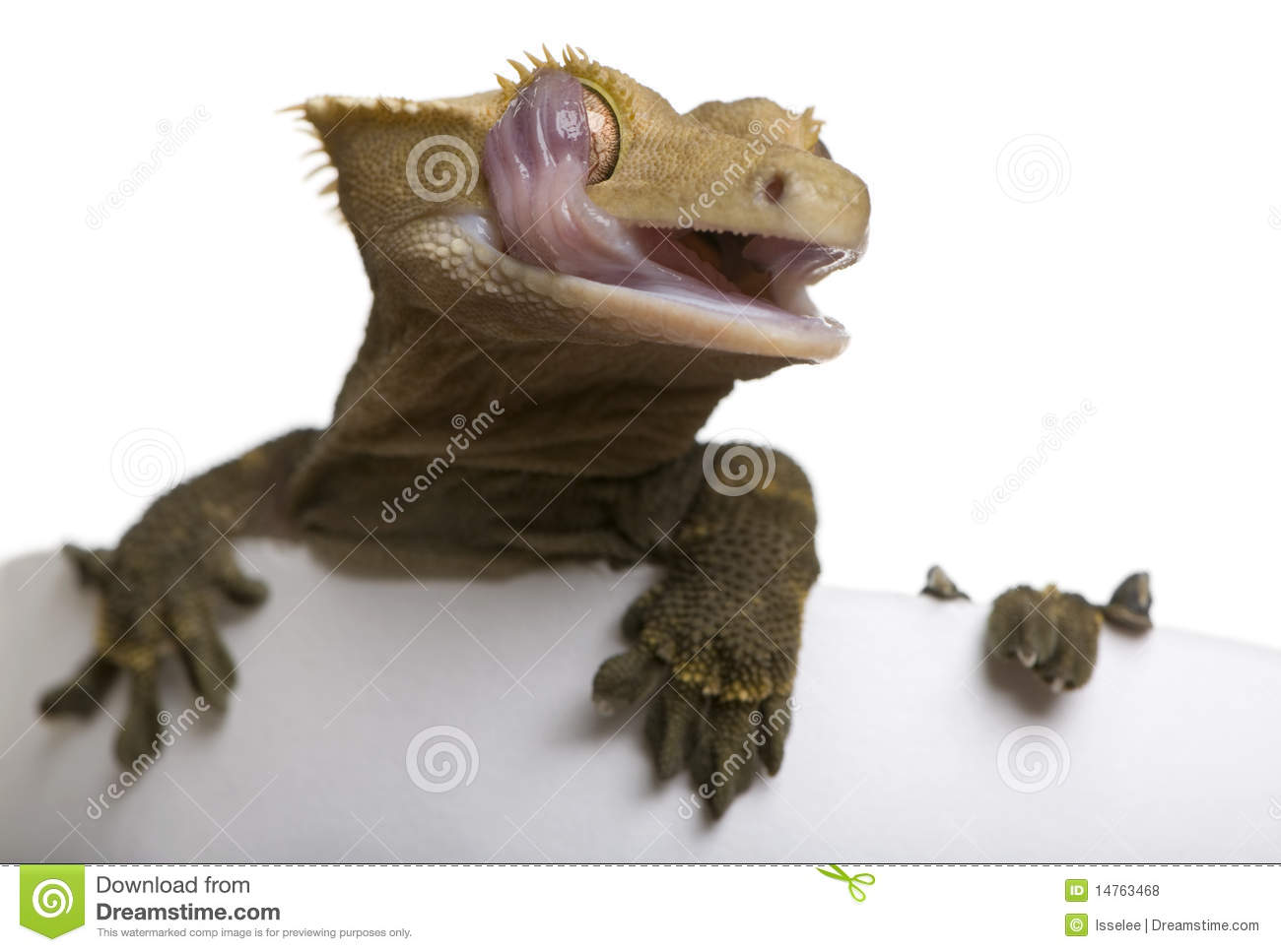 New Caledonian Crested Gecko Licking Eye Royalty Free Stock Photos.