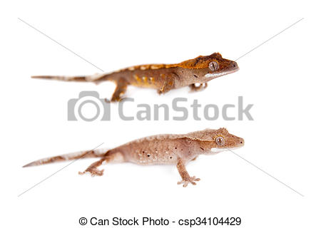 Stock Photo of New Caledonian crested gecko on white.