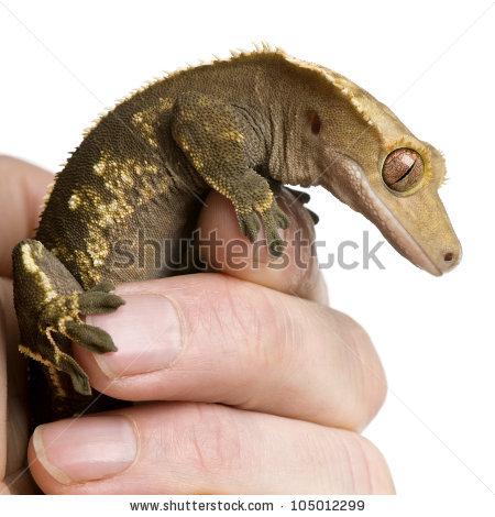 Crested Gecko Stock Photos, Royalty.