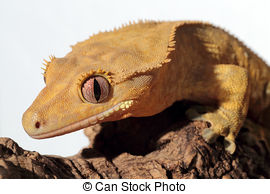 Stock Photos of New Caledonian crested gecko on white.