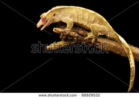 New Caledonian Giant Gecko Stock Photos, Royalty.