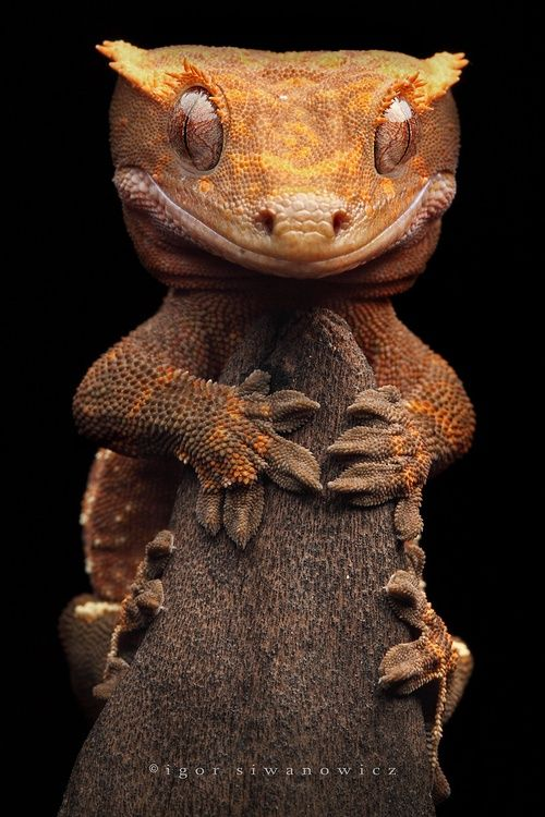1000+ ideas about Crested Gecko on Pinterest.