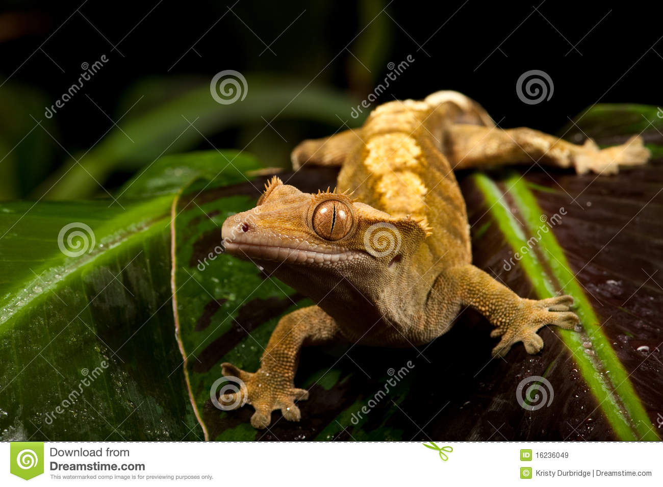 New Caledonian Crested Gecko Climbing White Pole Royalty Free.