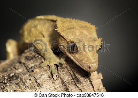Stock Photography of New Caledonian crested gecko on a tree trunk.