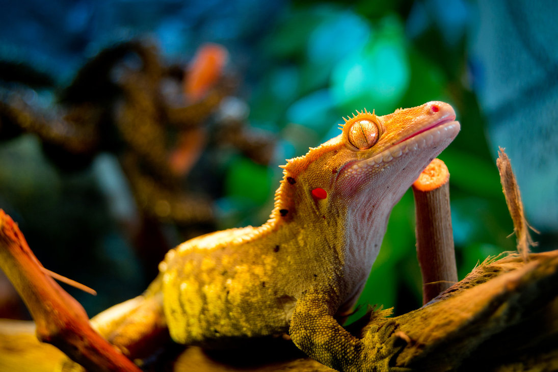 Crested Gecko Wallpaper.