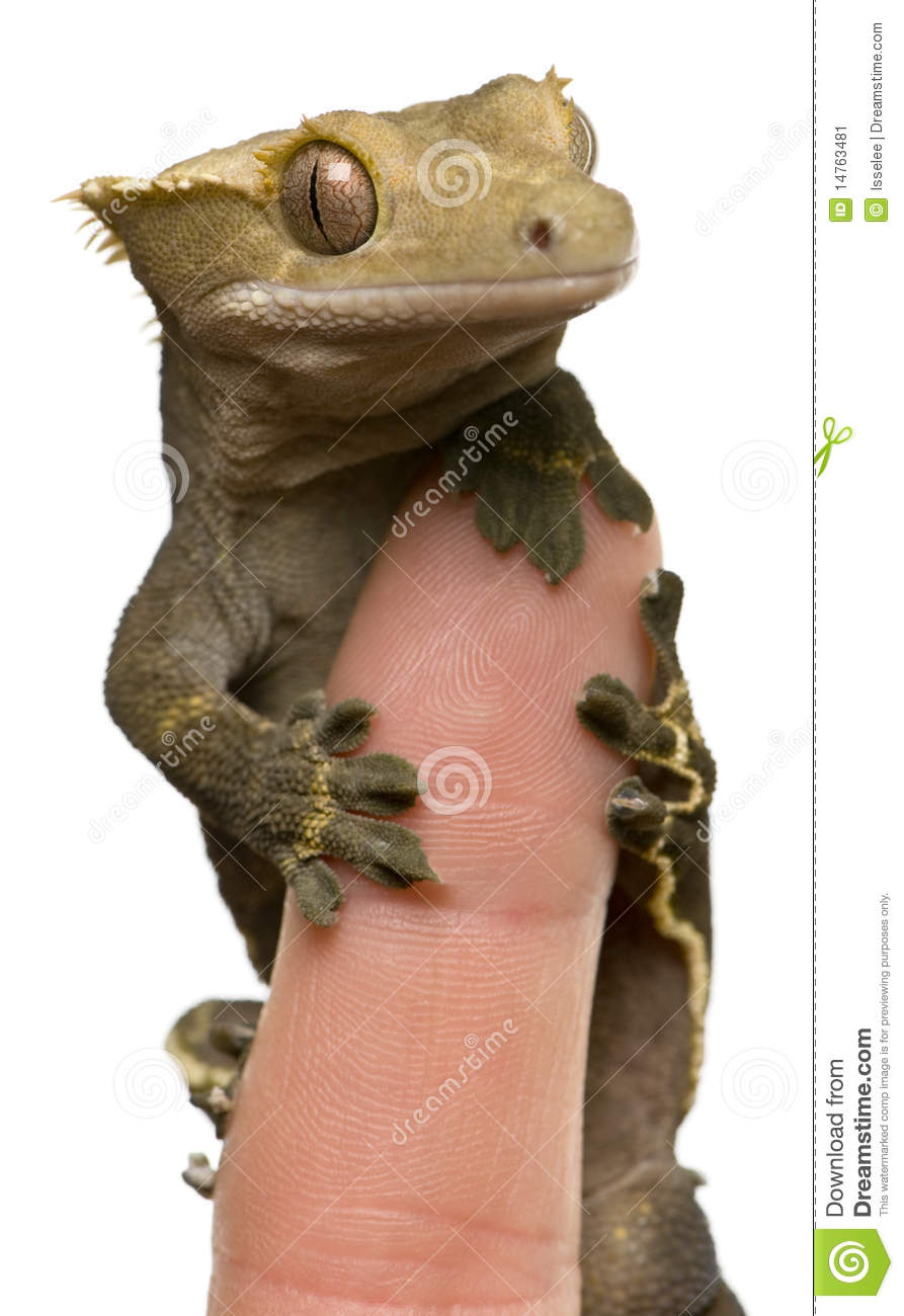 New Caledonian Crested Gecko On Fingertip Stock Image.