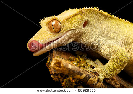 New Caledonian Crested Gecko Stock Photos, Royalty.