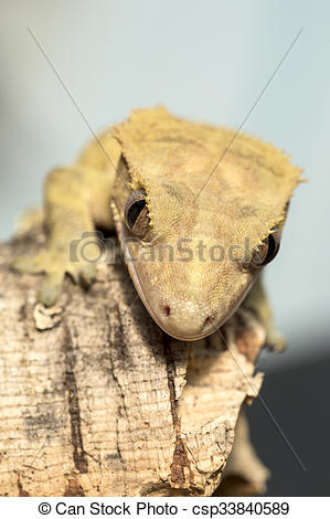 Pictures of Face of a new Caledonian crested gecko.