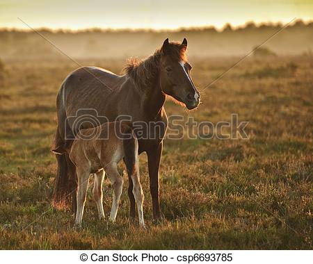 Stock Images of Mare and foal of New Forest pony grazing in.