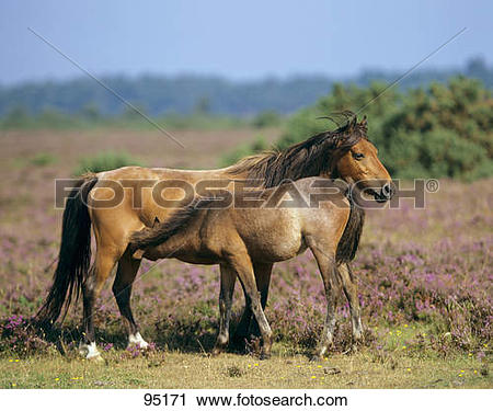 Stock Photography of New Forest Pony horse.