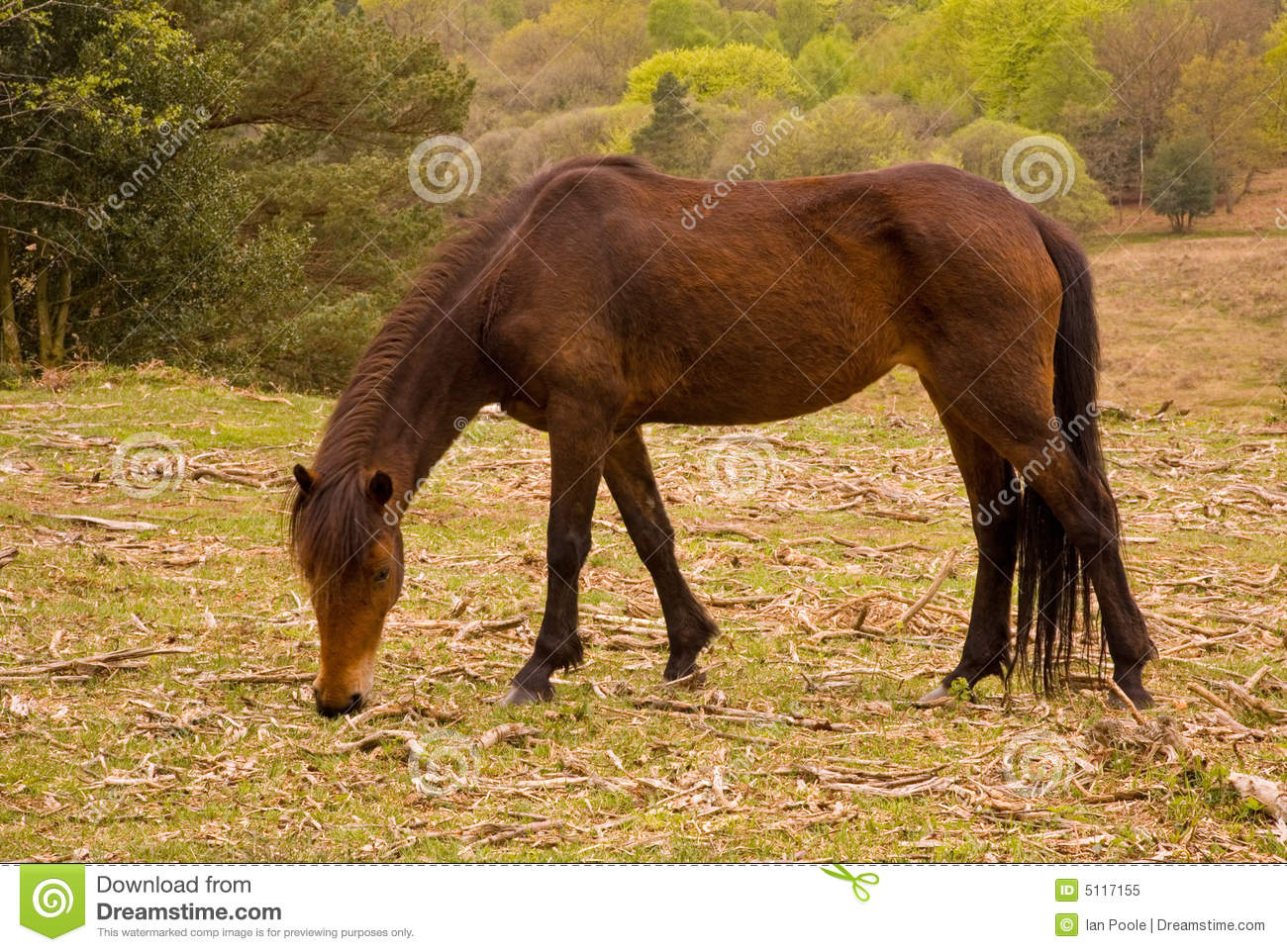 New Forest Pony Royalty Free Stock Photo.