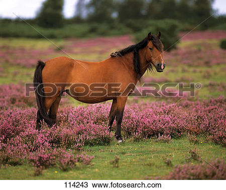 Stock Photo of New Forest Pony.