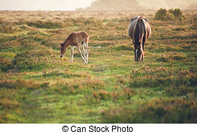 Stock Photography of Mare and foal of New Forest pony grazing in.