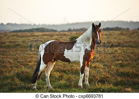 Stock Photography of Close up of brown and white New Forest pony.