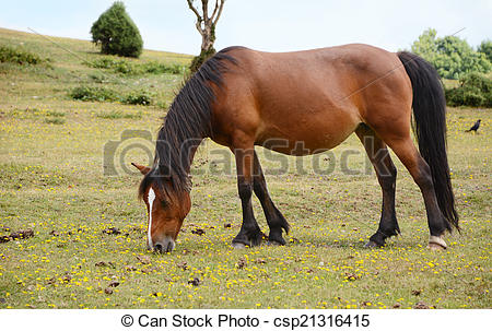 Stock Photography of Bay pony in foal grazing in the New Forest.