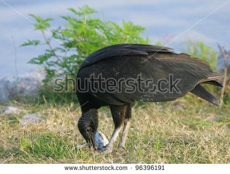 New World Vulture Stock Photos, Royalty.