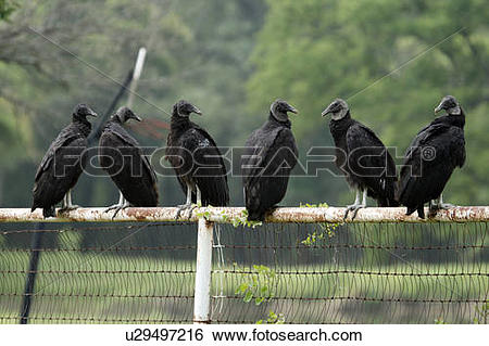 Stock Images of new world vulture coragyps atratus black carrion.