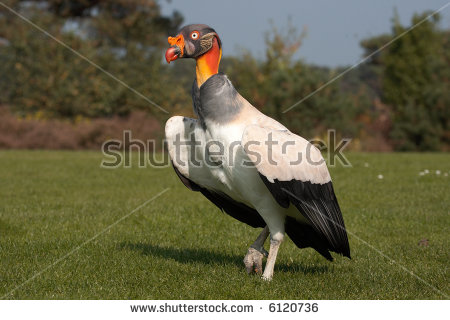 New World Vultures Stock Photos, Images, & Pictures.