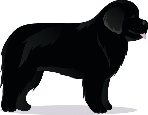 Best Newfoundland Dog Illustrations, Royalty.