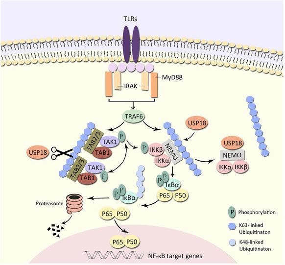 USP18 negatively regulates NF.