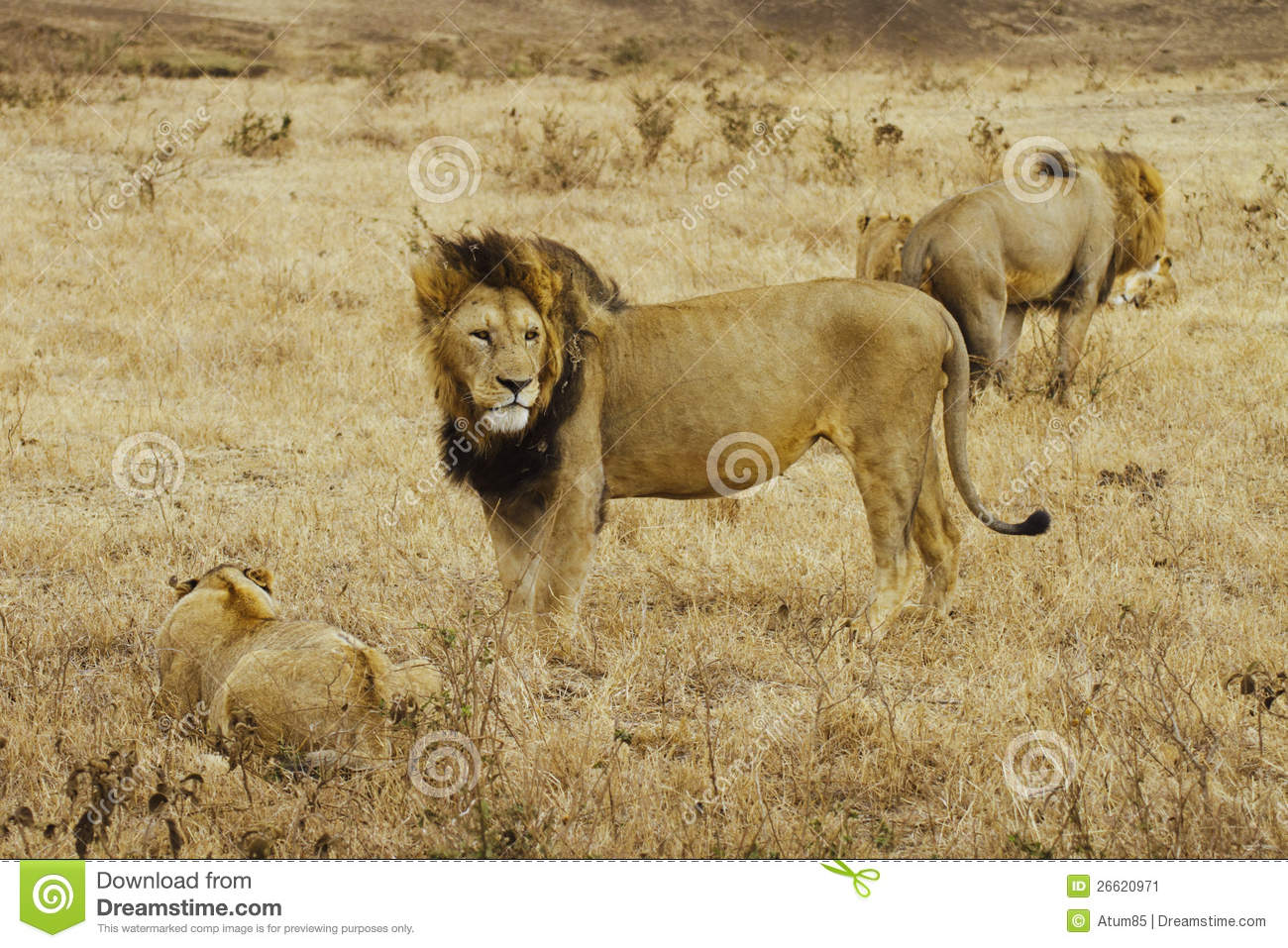 Pride Of Lions In The Ngorongoro Crater (Tanzania) Stock Image.