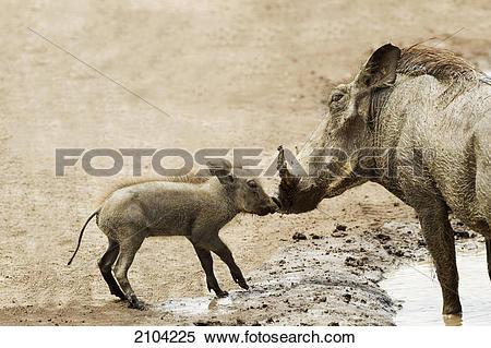 Stock Image of Baby warthog (phacochoerus africanus) kissing.