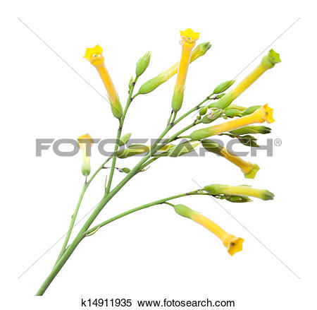 Stock Image of Nicotiana glauca, tree tabacco k14911935.